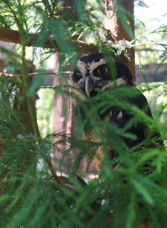 Owl behind leaves