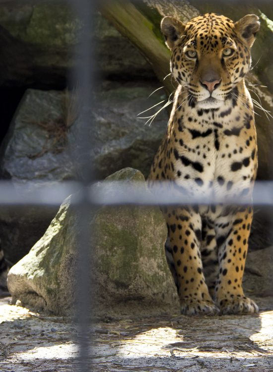 Leopard in an enclosure