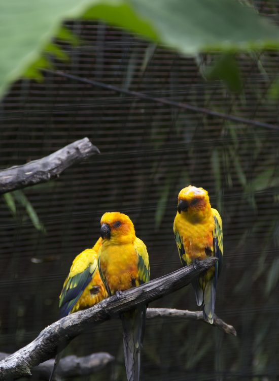 Two yellow parrots on a tree