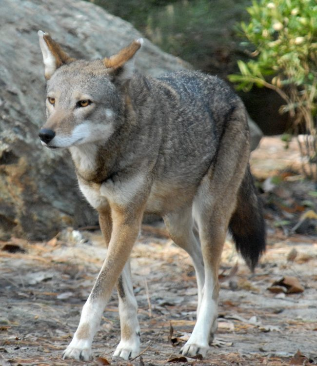 Red Wolf3