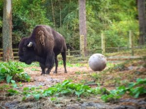 Bison And Ball