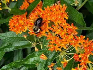 Bee On Butterfly Weed In Bee City Garden